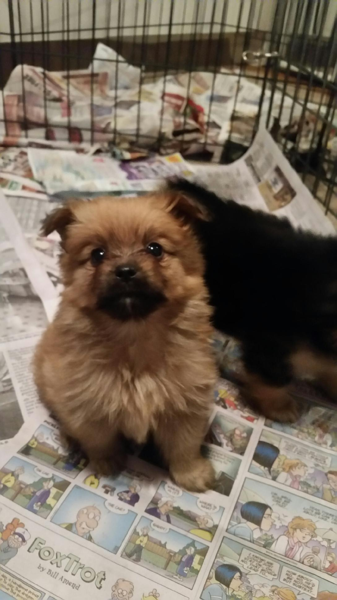 Shih Tzu for Sale in IL - Red bud | #45287 - PetZDaddy