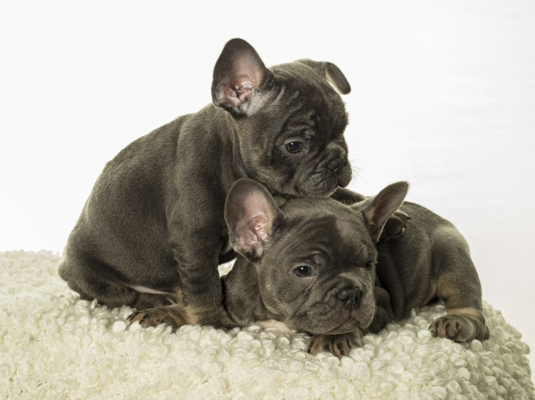 French Bulldog for Sale in Texas - Mission | #46772 - PetZDaddy