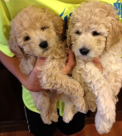 Goldendoodle for Sale in California - San Diego | #50967 - PetZDaddy