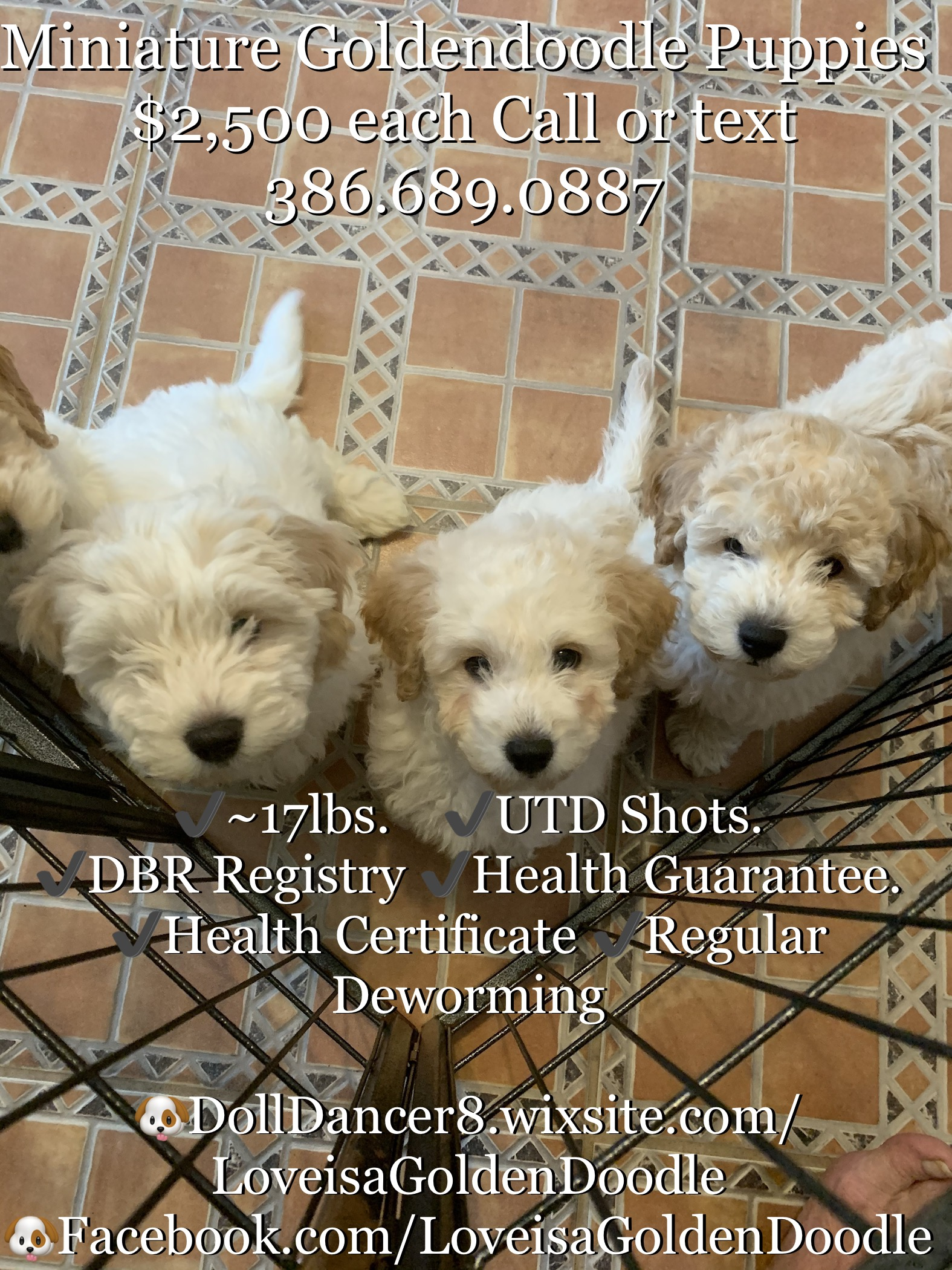 Goldendoodle for Sale in Florida - Edgewater   #66454 ...